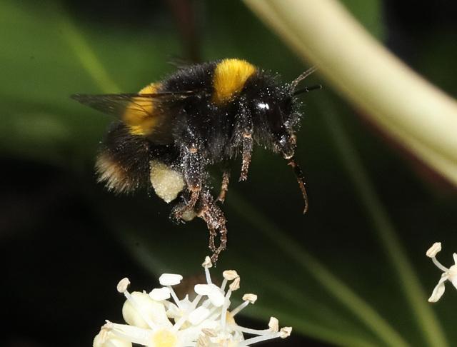 BumblebeeIMG 9041