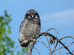Northern Hawk Owl juevnile - from the archives