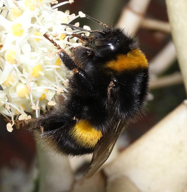 BumblebeeIMG 9058