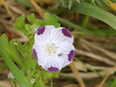 Némophile maculée (Nemophila maculata)