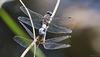 Plattbauchlibellen - Paarung