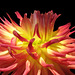 """Dahlia """"Clearview Avia"""" Closeup by My Lovely Wife (Explored)"""