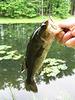 Largemouth Black Bass