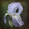Iris suranné