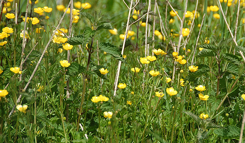 buttercups and nettles