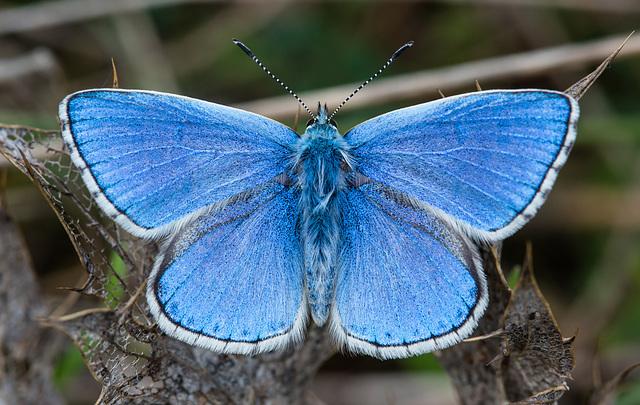 Papillon Bleu Céleste..............(EXPLORE)