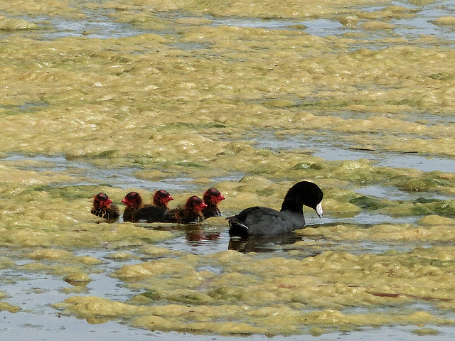 American Coot and 'cootlings'