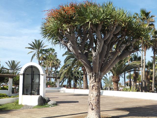 Junger Drachenbaum. ©UdoSm