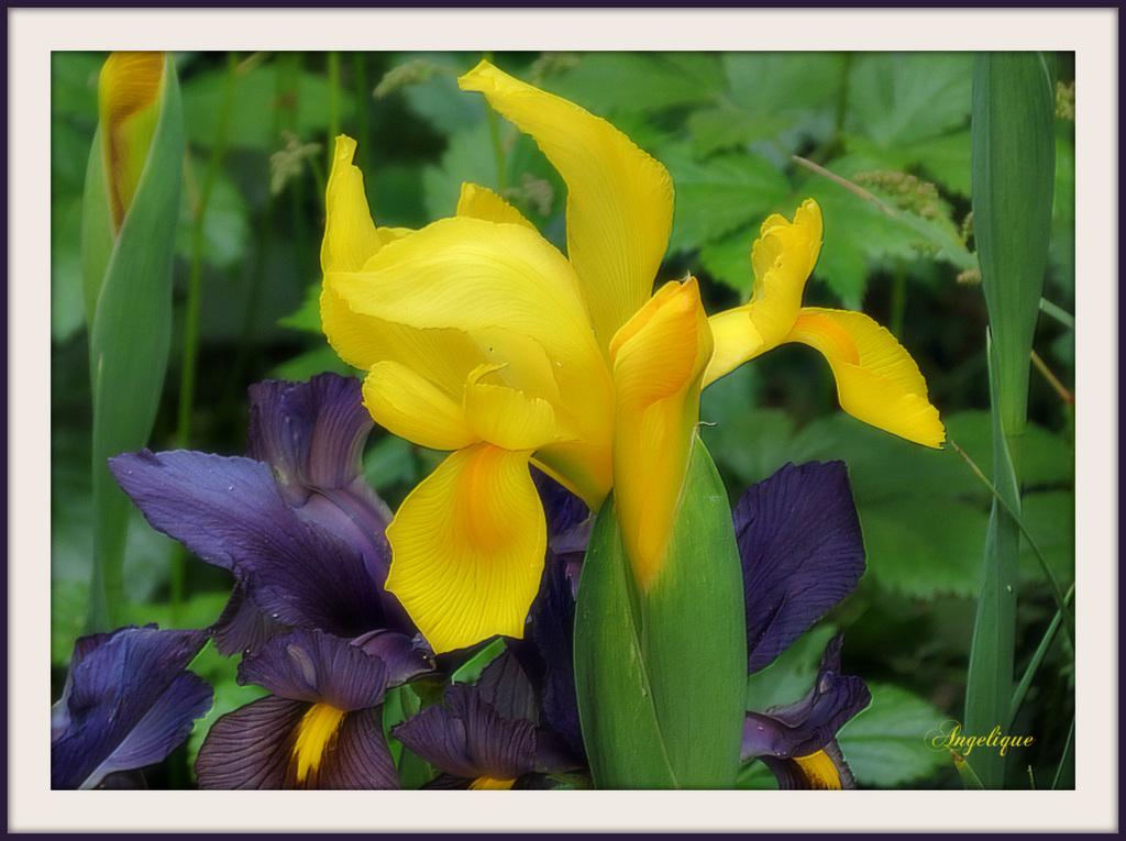 L'iris est l'une des plus anciennes fleurs cultivées, dans la mythologie grecque, Iris était la messagère des dieux et la fleur porte son nom. Dans le langage des fleurs, l'iris signifie: