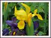 """L'iris est l'une des plus anciennes fleurs cultivées, dans la mythologie grecque, Iris était la messagère des dieux et la fleur porte son nom. Dans le langage des fleurs, l'iris signifie: """"Je vous aime tendrement avec bonheur""""."""