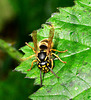 Wasp. Vespula vulgaris