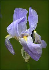 Printemps de l'iris bleu