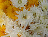 Chrysanthèmes...