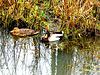 Family duck...
