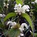 White dead nettle.  Lamium album