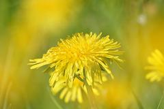gelbe Saison
