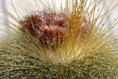 Notocactus Leninghausii   DSC1538