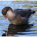 Greylag Goose IMG_0830