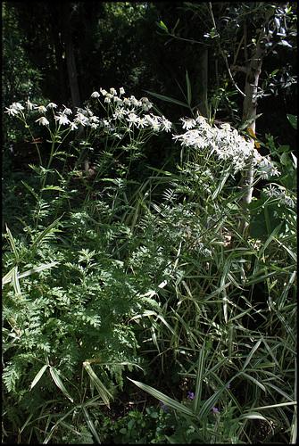 Tanacetum corymbosum