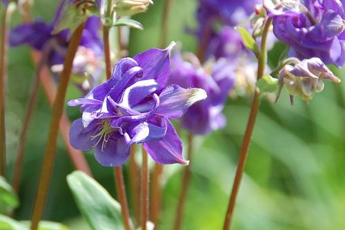 purple aquilegia