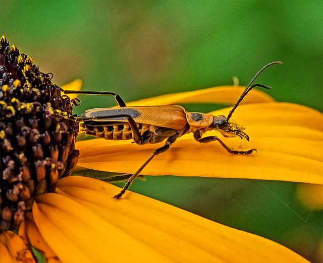 8242419dL  Flower beetle