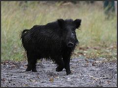 toi, tu t' es encore roulé dans la boue !!...... you, you're still rolled in the mud !!