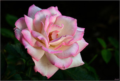 Rose Tendresse ( Princesse de Monaco ) ...