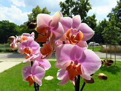 Pink phalaenopsis, a birthday present. Aug. 1, 2019, Munich.