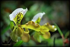 Paphiopedilum  X  exul , 'Boliviana'