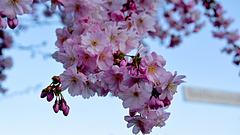 Wonderful World-Japanische Blütenkirsche
