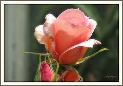 L'odeur de rose, faible, grâce au vent léger d'été qui passe, se mêle aux parfums qu'elle a mis