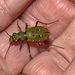 Tiger Beetle IMG_0848