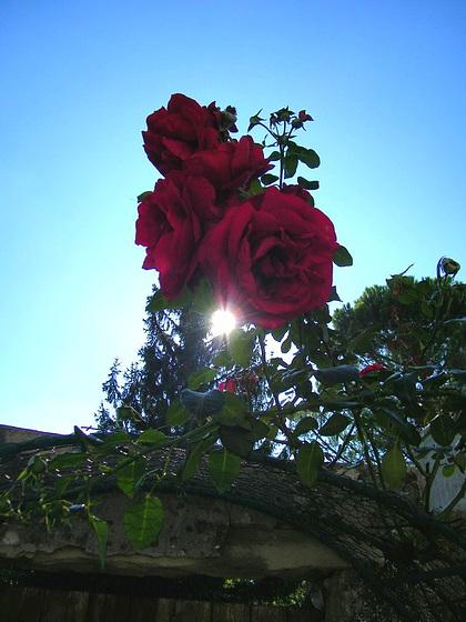 Des roses à contre-jour...