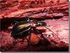 Carabus (Chrysocarabus) splendens