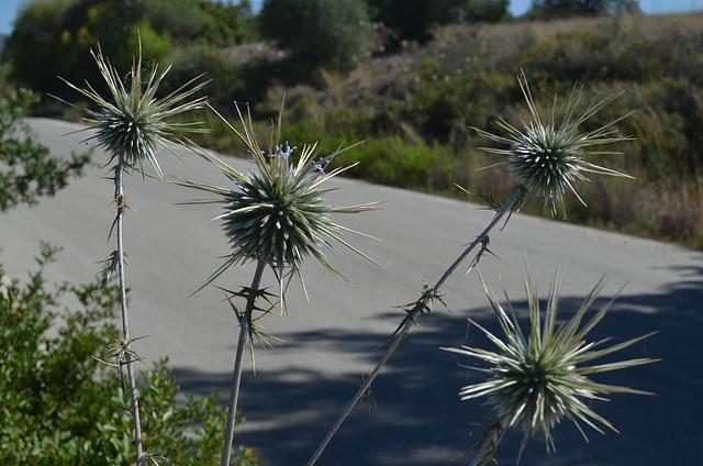 Rhodes Mountainous Plant with Thorns