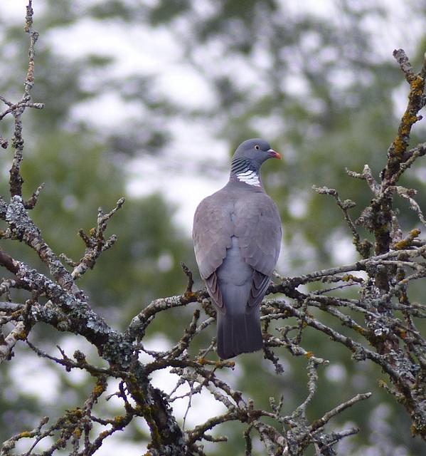 Pigeon ramier  (Columba palumbus)   (Common Wood Pigeon)