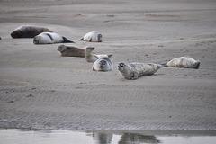 BERCK - Baie de Somme Les phoques