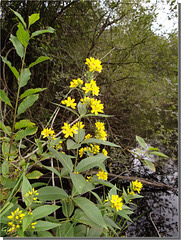 Lysimachia vulgaris.