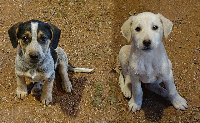 Celt & Saxon ~ The Drain Pipe Puppies