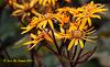 Ligularia  (Leopard Plant Desdemona)  046 copy