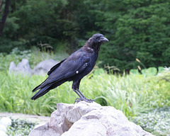 corneille d'Amérique/American crow