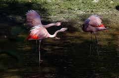 Deux femelles hystériques s'acharnent sur ce pauvre mâle .
