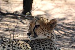 Namibia, The Okonjima Nature Reserve, Portrait of a Cheetah