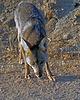 Begging Coyote