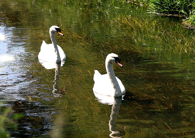 Two of a Kind Mute Swans (Cygnus olor) on River Hertford. 2nd June 2009