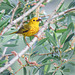 Yellow Warbler male collecting insects