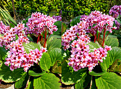 Purpurrötliche Bergenie (Bergenia purpurascens) in X3D. ©UdoSm