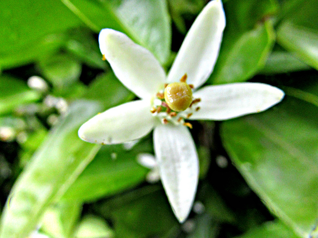 White Blossom Of the Tangelo Tree