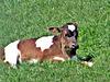 Calf in the Sun.