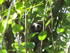 Baby raccoon in a pear tree